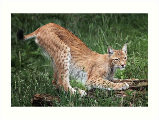 Lynx by Patricia Jacobs DPAGB LRPS BPE4