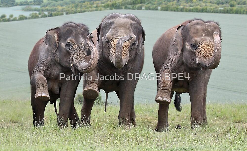 Three Elephants by Patricia Jacobs DPAGB BPE4