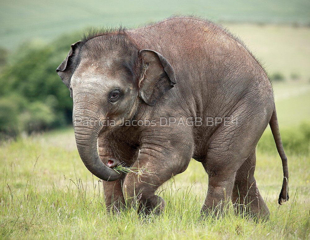 Baby Elephant by Patricia Jacobs DPAGB BPE4