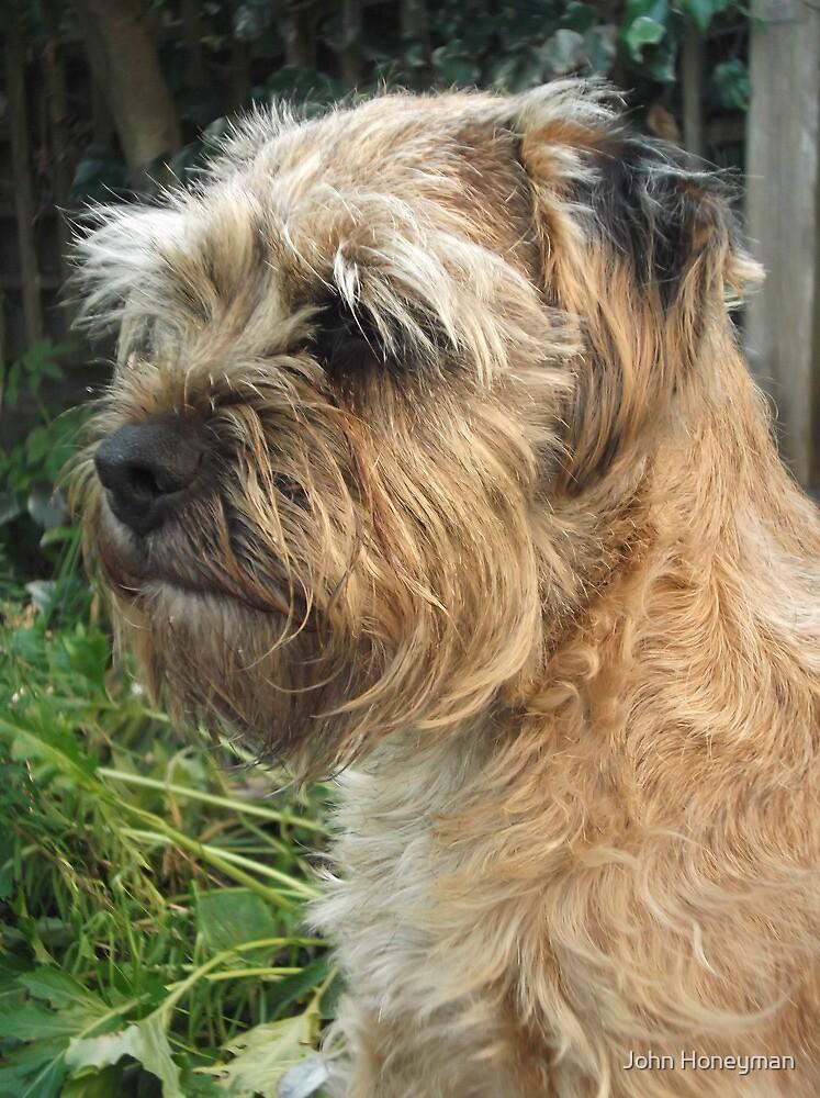 Border Terrier Portrait by John Honeyman