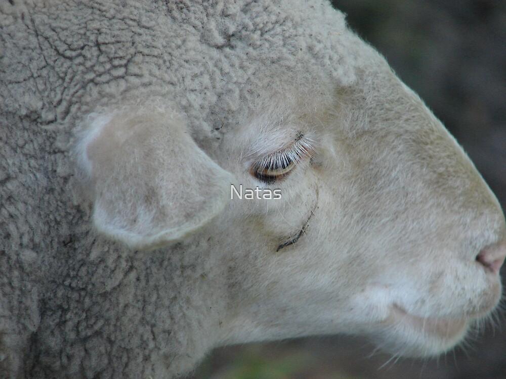 Sheep by Natas