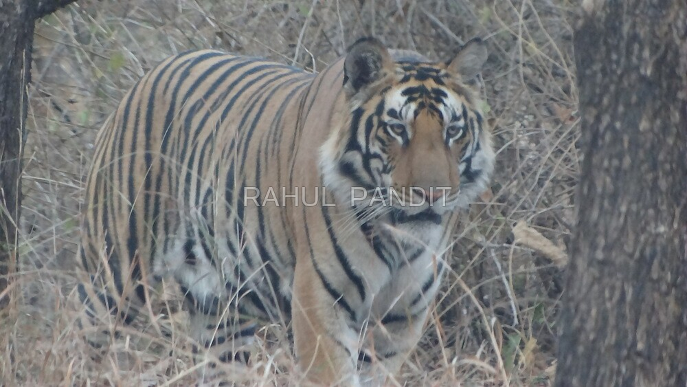 Tiger Series Cont.. by RAHUL  PANDIT