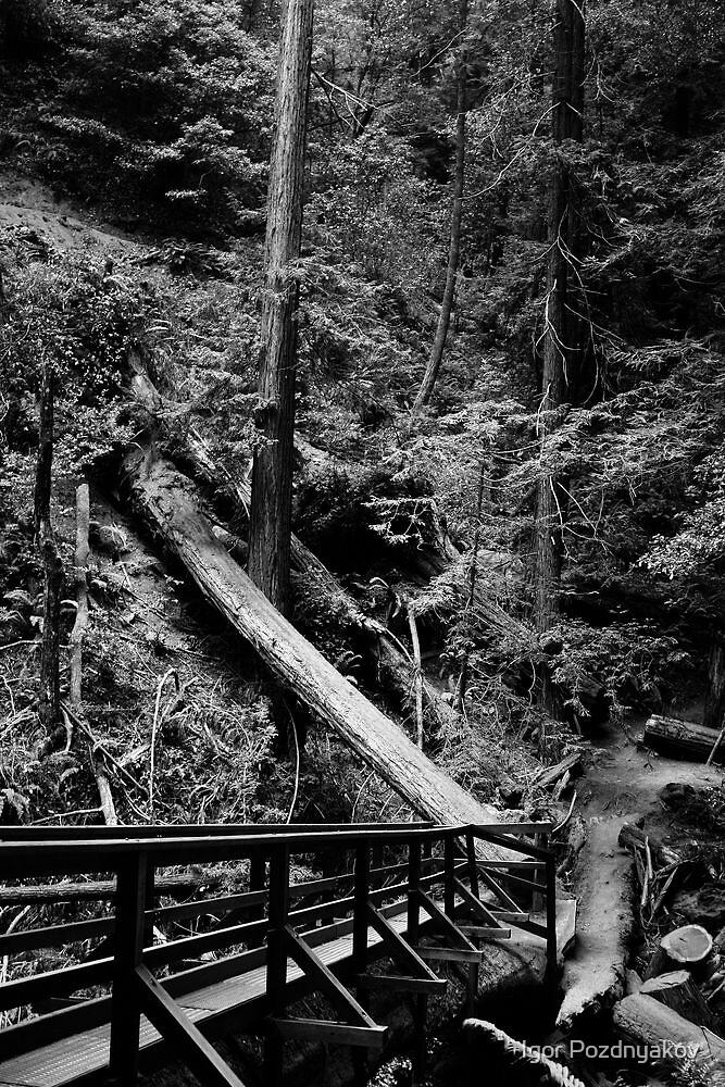 Muir Woods in Black and White. 2012 by Igor Pozdnyakov