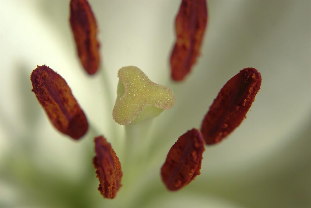 White Lily by tonysphotospot