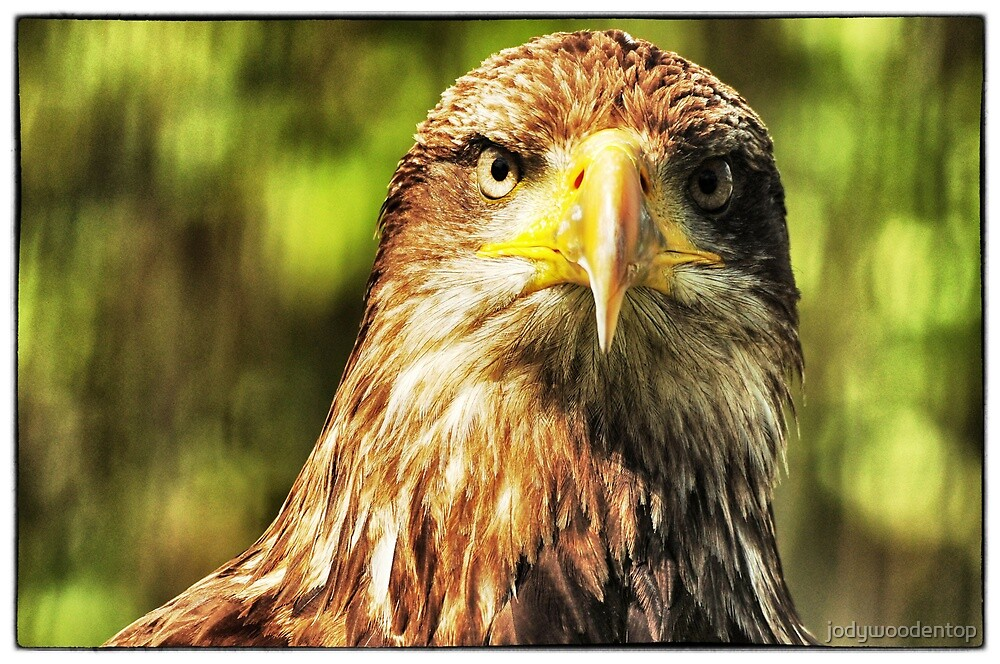 Eagle at Rest by jodywoodentop