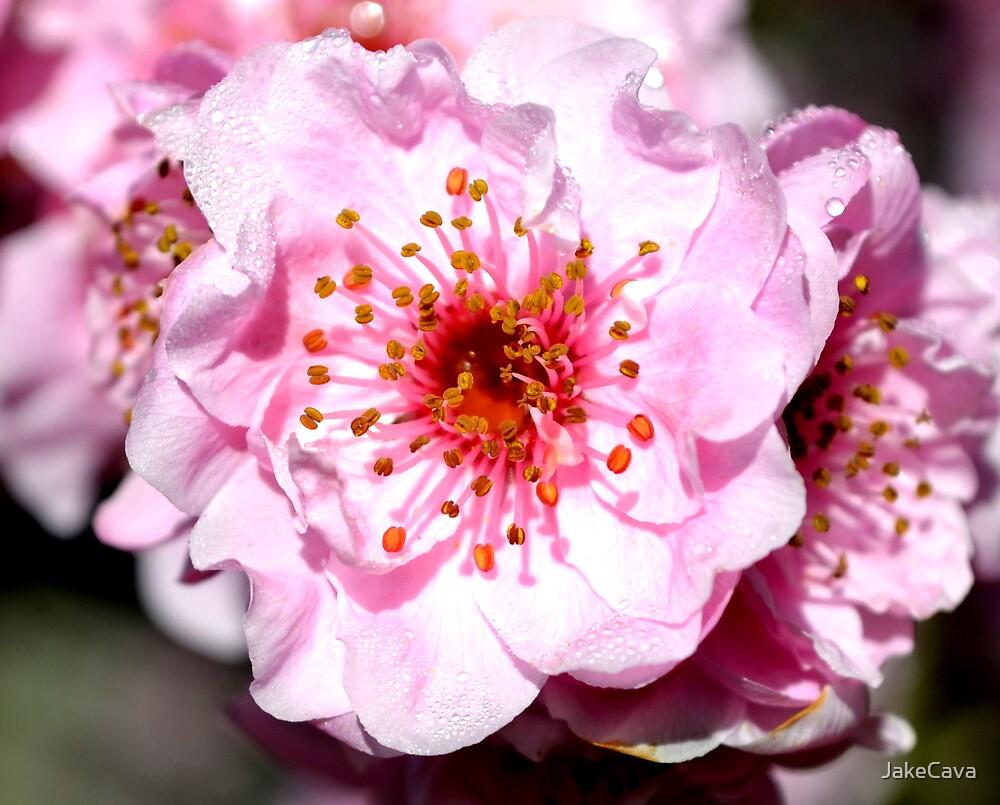 Pink Poppy by JakeCava