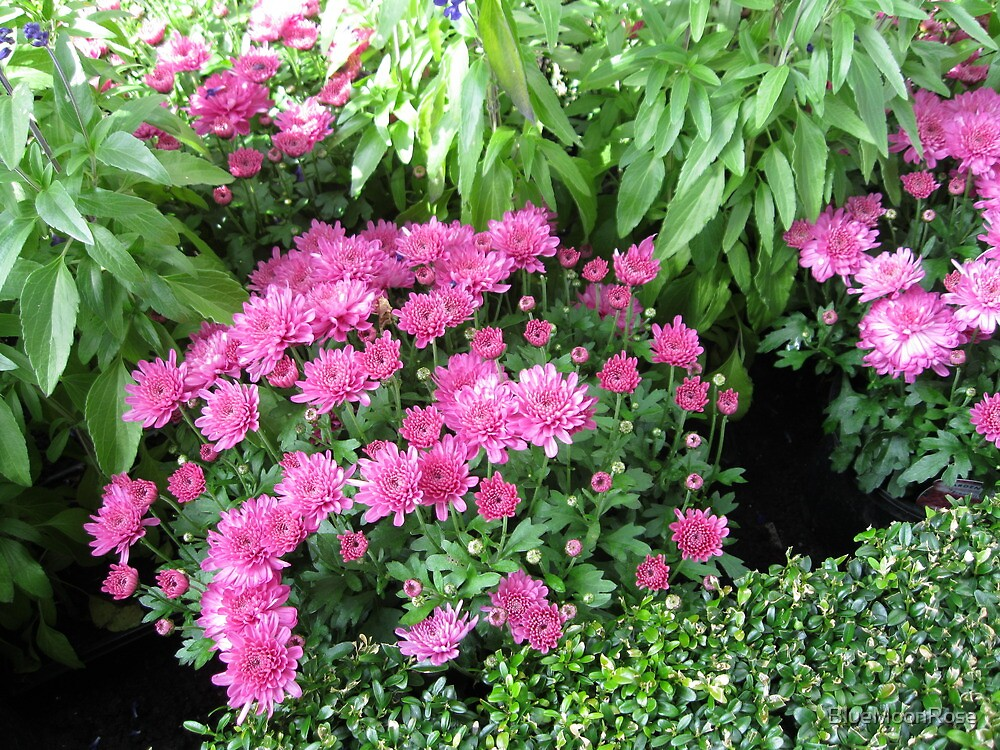 Pretty-in-Pink Mums by BlueMoonRose