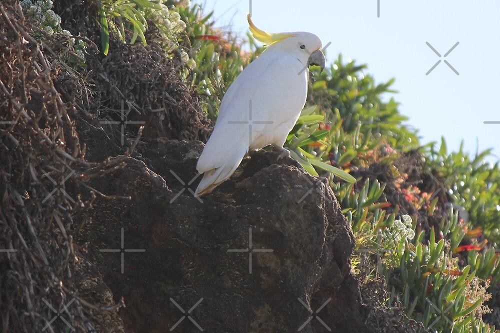 Cockatoo at Bondi by Kymbo