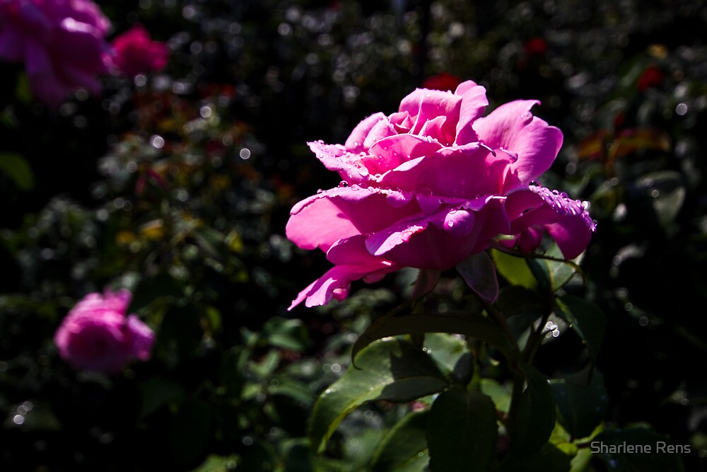 Pink Rose by Sharlene Rens