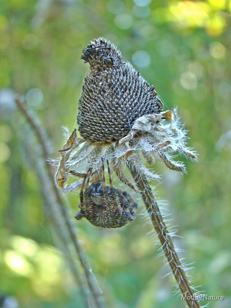 Araneus -  Orb Weaver - Resting Under Seedhead by MotherNature