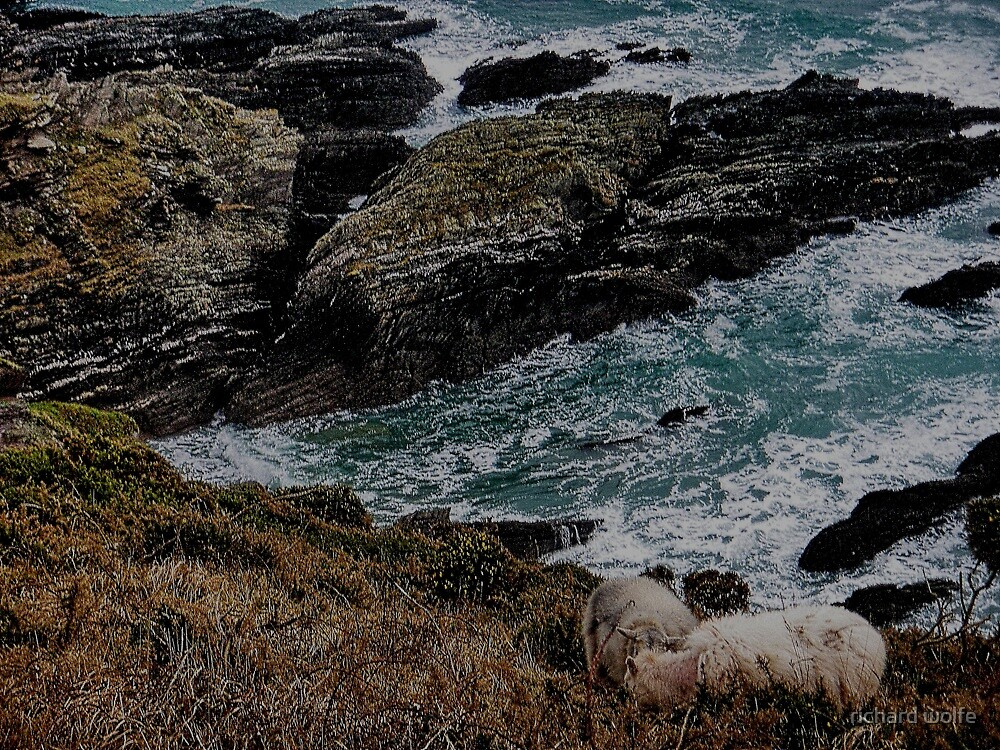 South Devon Noss Mayo Two Sheep Grazeing On Wild Coastline In Winter by richard wolfe