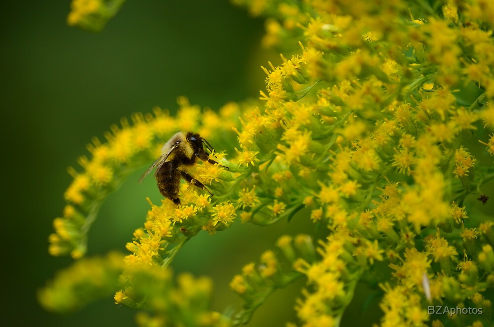 busy bee by BZAphotos