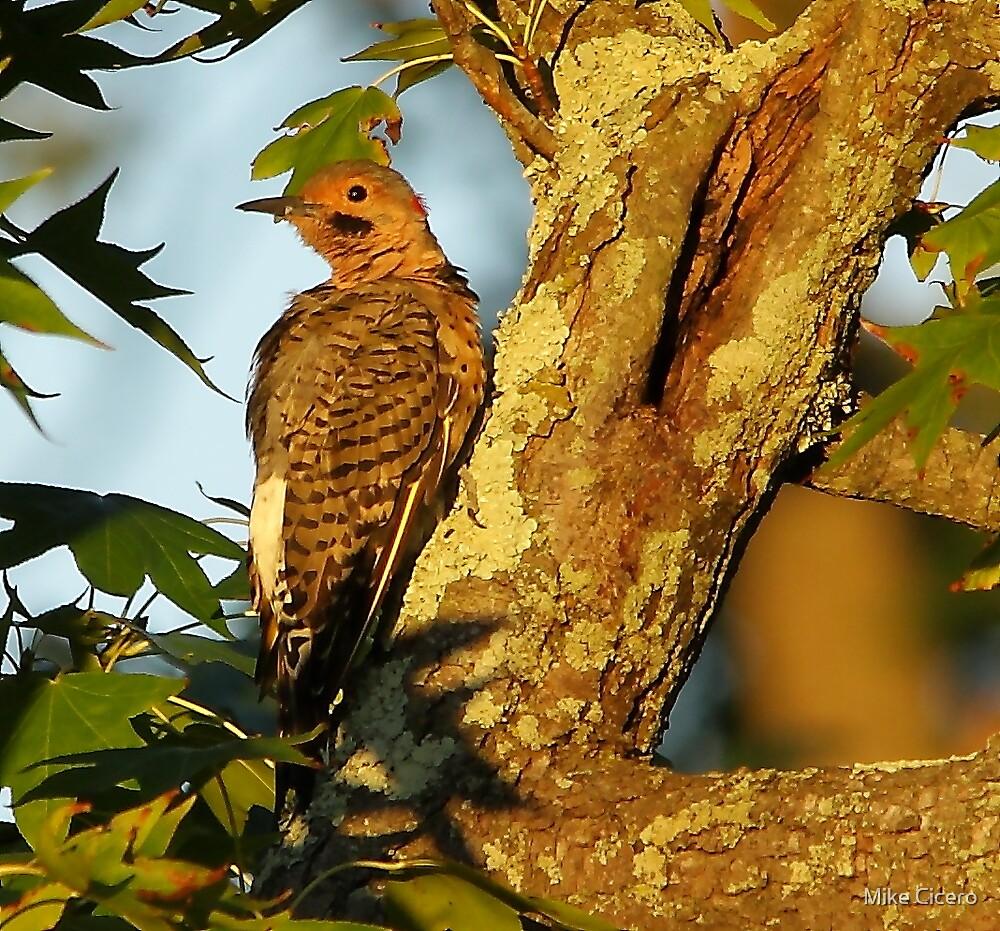 Sunrise Woodpecker by Mike Cicero