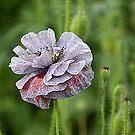 Poppy by Martina Fagan