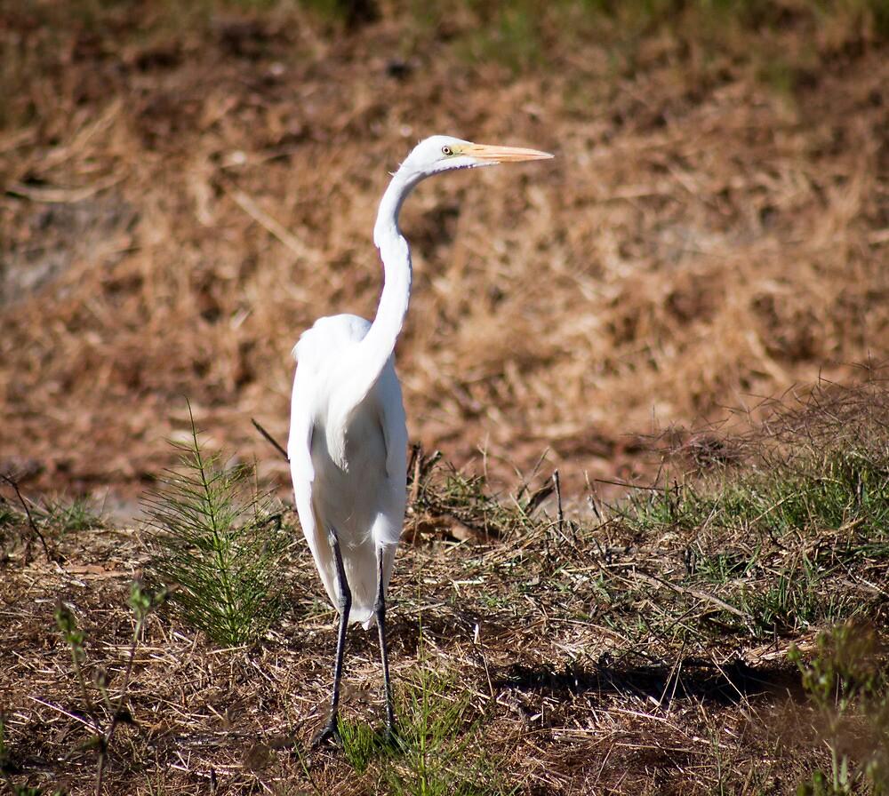 Great Egret by gerardofm4