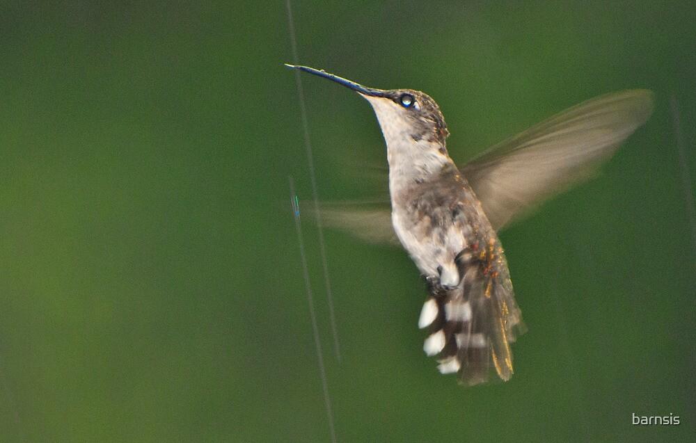 Where do Hummingbirds go in the Rain? by barnsis