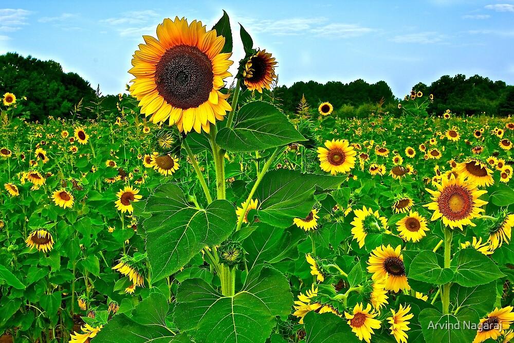 Sunflower farm by Arvind Nagaraj