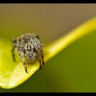Lynx Spider (Oxyopes rubicundus) by Kerrod Sulter