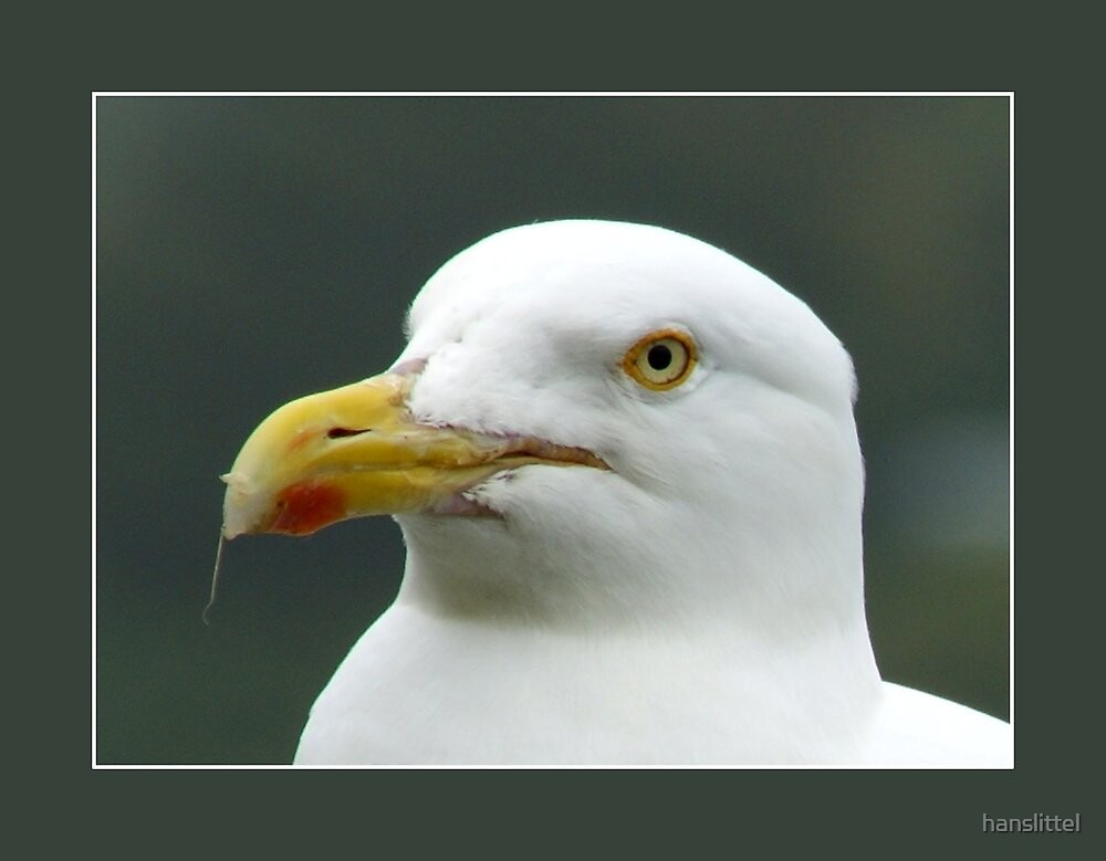 Yellow-legged Gull    (Larus michahellis) by hanslittel