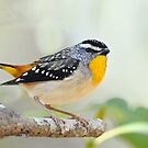 SPOTTED PARDALOTE  Gold Coast   Australia by DIZZYHEIGHTS