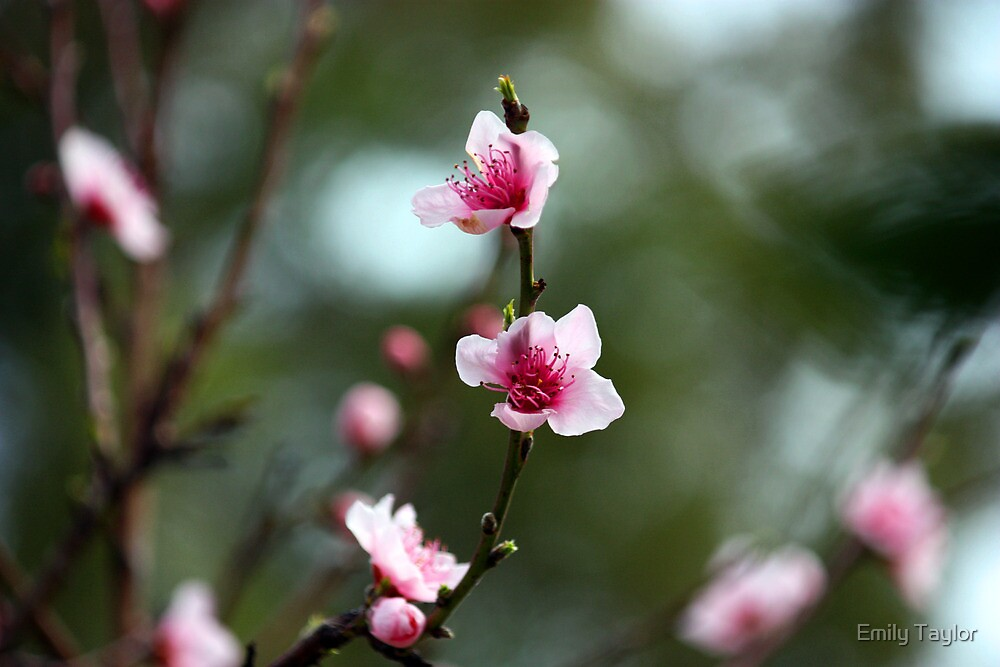 Pink Blossom by Emily Taylor