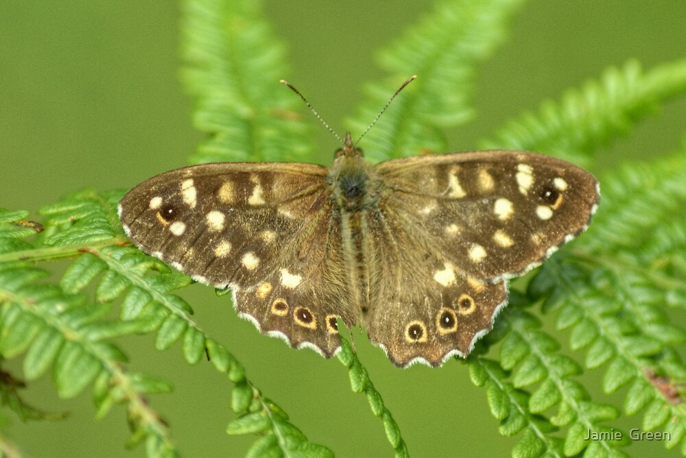 Speckled Wood Butterfly by Jamie  Green