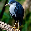 Pied Heron by Stuart Robertson Reynolds