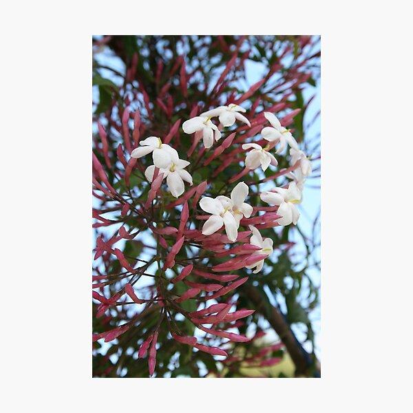 Pink Buds and Jasmine Blossom Close Up Photographic Print