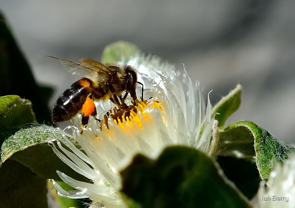 Busy Bee by Ian Berry