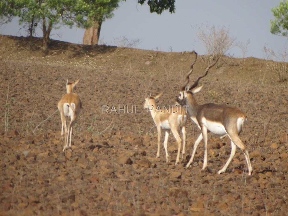BLACKBUCK WITH FAMILY by RAHUL  PANDIT
