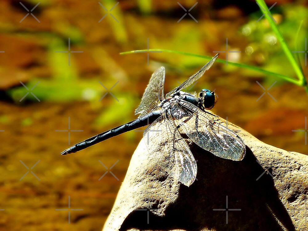 Dragonfly resting on a stone near the creek where we used to play by Scott Mitchell