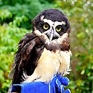Spectacled Owl by Nancy Richard