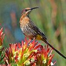 Sugarbird........... by Macky