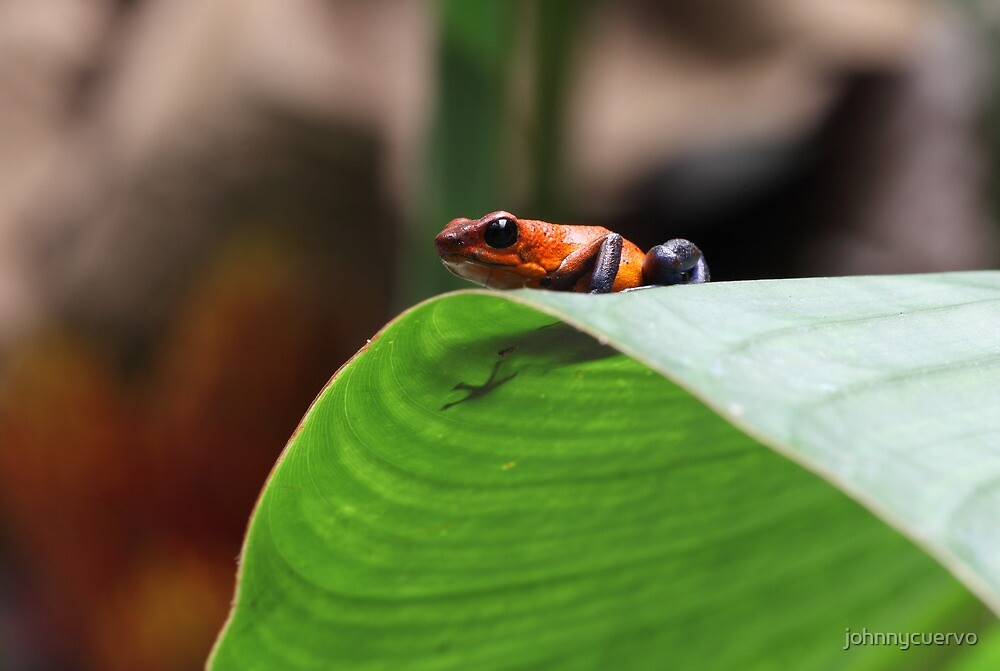 Poison dart frog by johnnycuervo