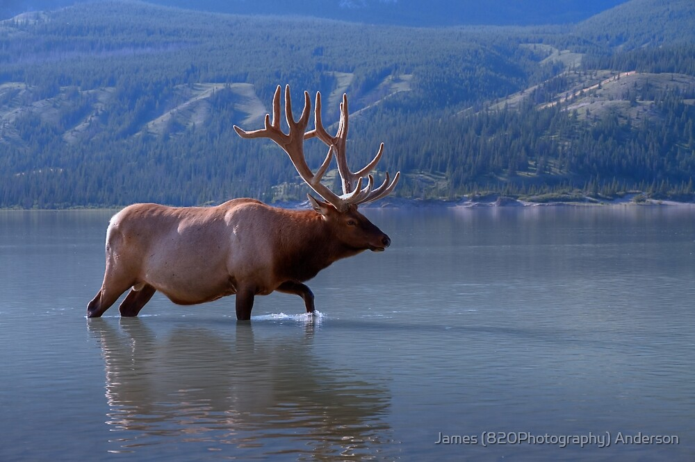 Wading Wapiti by James Anderson