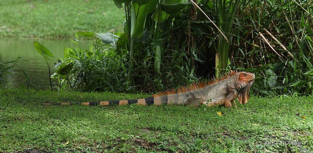 Iguana by johnnycuervo