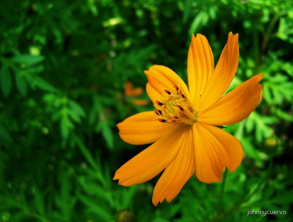 Orange flower by johnnycuervo