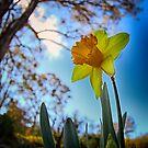Daffodil by Kym Howard