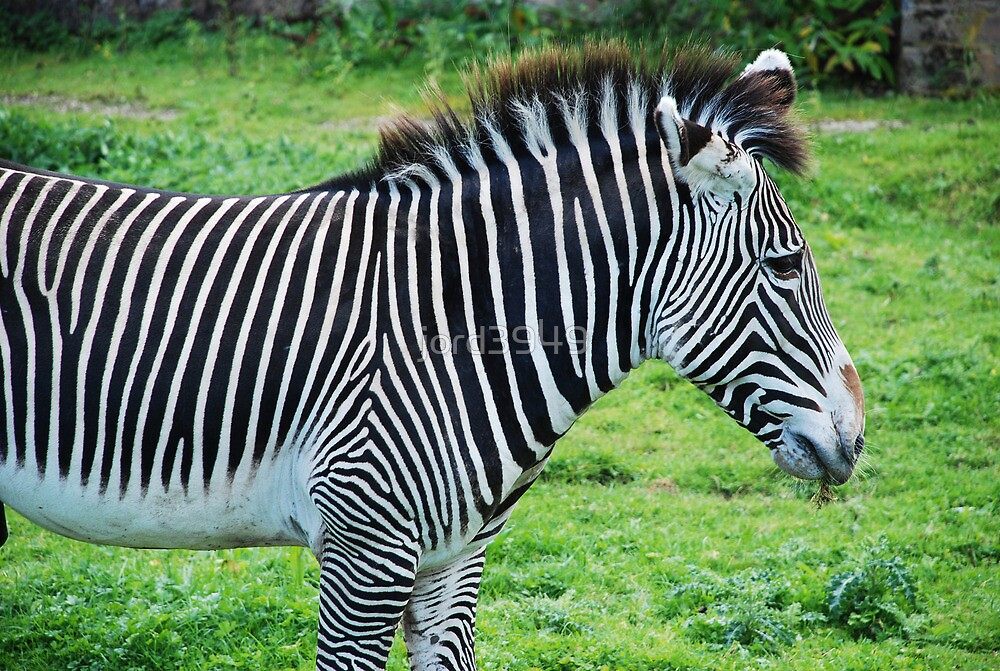 Zebra by jord3949