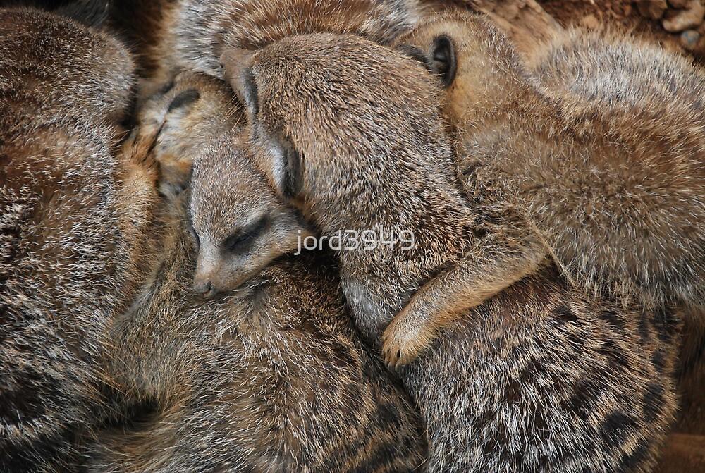 Meerkats Sleeping by jord3949