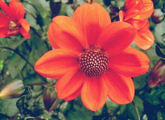 Orange dahlia flowers by cycreation