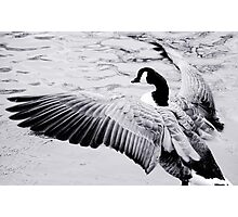 Goose Photographic Print