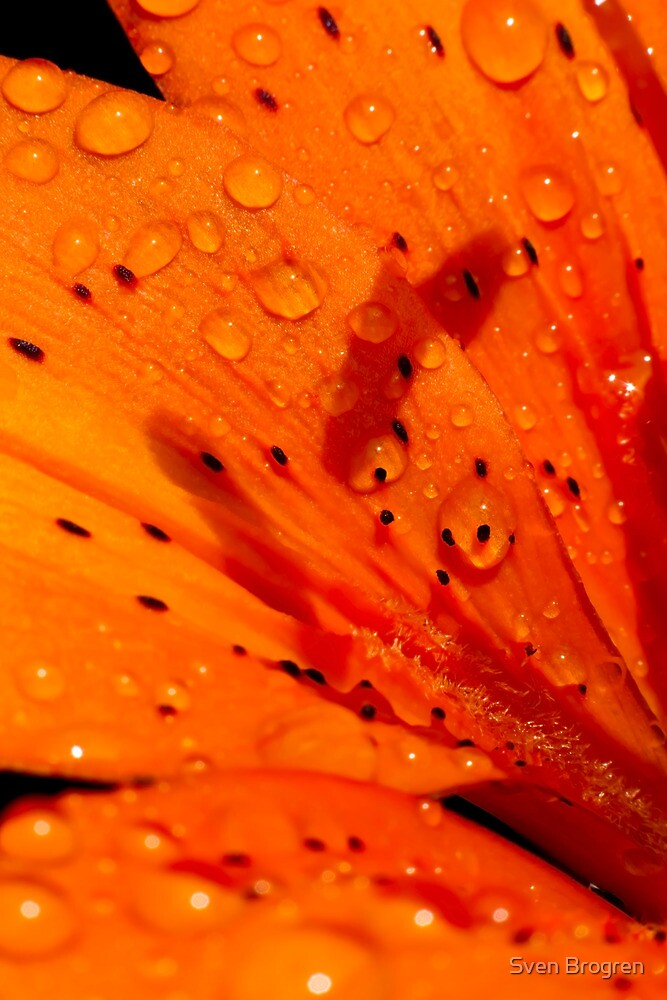 Macro of a day lilly with morning dew by Sven Brogren