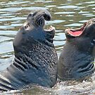Confrontation / Conflict. Elephant Seals Reserve, San Simeon, CA by Eyal Nahmias