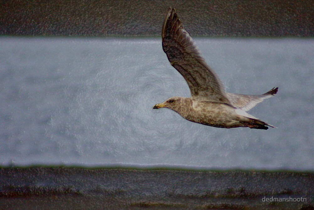 "gull flying, ""acrylic"" photography by dedmanshootn"