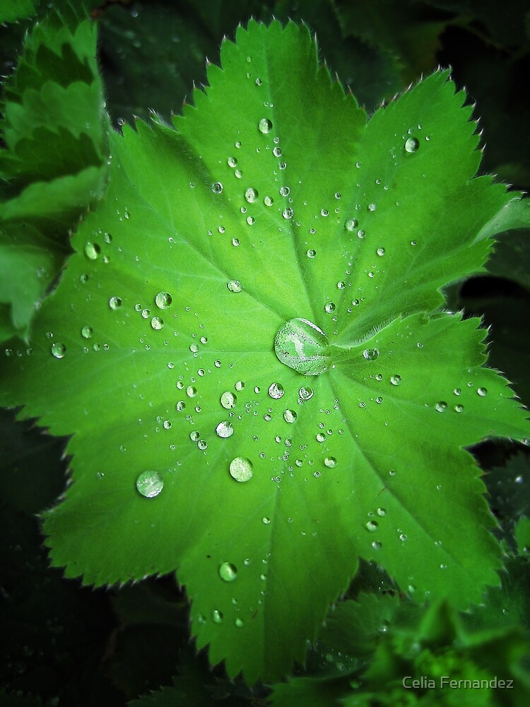 Alchemilla leaf with water drops by chelo