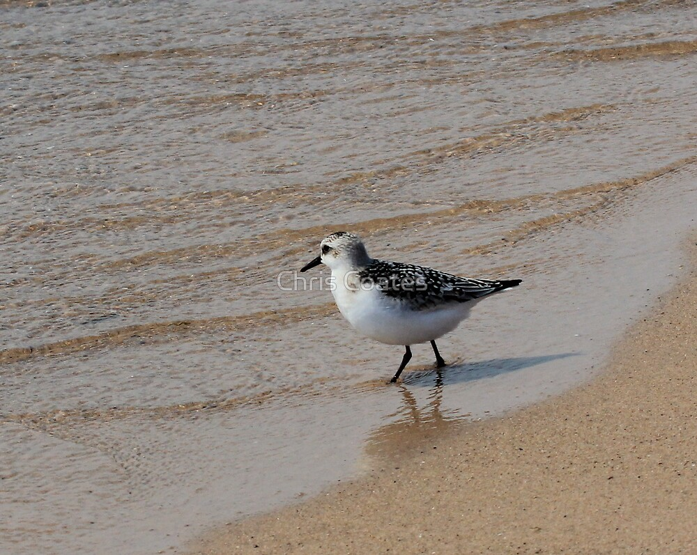 Sandpiper by Chris Coates