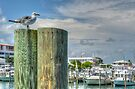 Seagull at the marina in Nassau, The Bahamas by Jeremy Lavender Photography