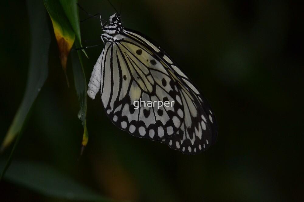 Butterfly 1 by gharper