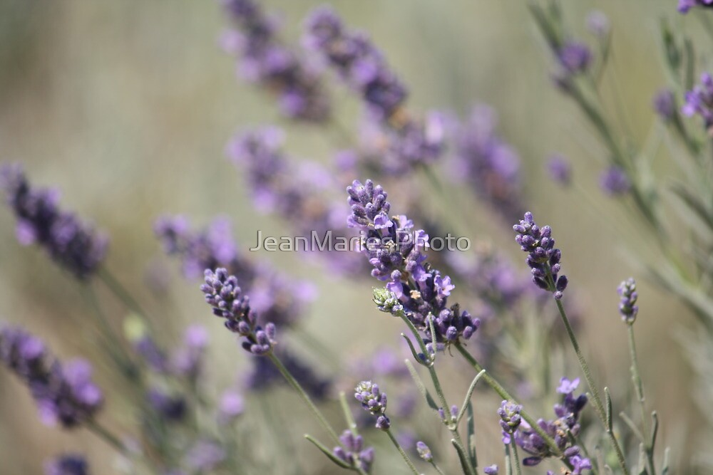 Lavender by JeanMariesPhoto